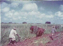 agricultural college working the land 1958